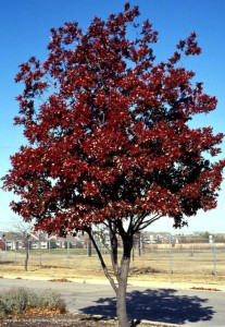 tree-red-oak