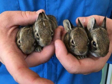 North Texas Wild: Dallas rehabber says wild rabbit rescues multiply in spring
