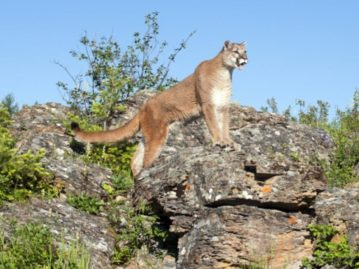 North Texas Wild: Dallas woman wild about Texas native cats